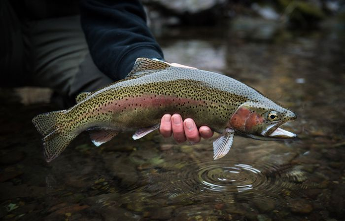 Photo of the day a perfect wild montana rainbow orvis for Orvis fly fishing 101