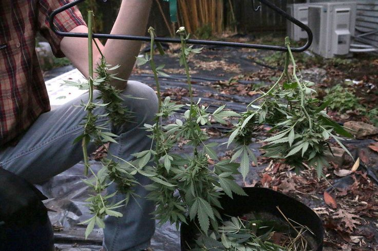How to harvest marijuana plants.