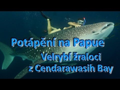 Velrybí žraloci z Cendarawasih Bay.Whale sharks. Papua New Guinea