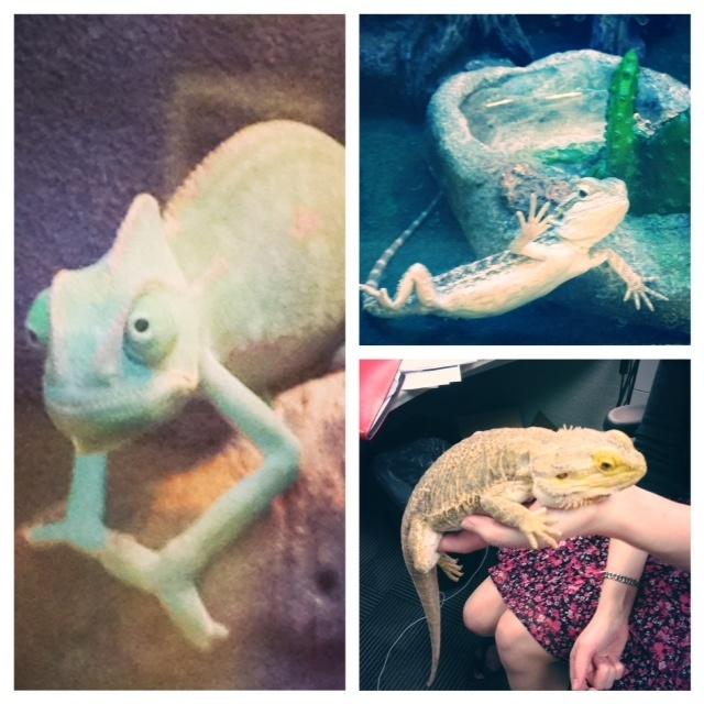 Crazy Chameleon Tattoo: 16 Best Images About Pet Chameleon On Pinterest