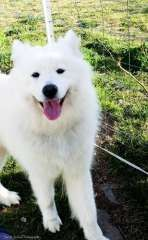 PUREBRED SAMOYED PUPPIES AVAILABLE males / females | Samoyed puppies for sale Laurieton NSW New South Wales on pups4sale - https://www.pups4sale.com.au/dog-breed/480/Samoyed.html