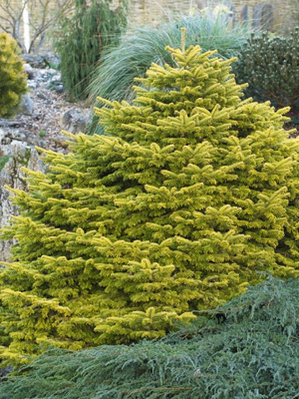 Abies nordmanniana 'Golden Spreader', Zone: 5-9, Height: 2-3ft. tall and 6-7ft. wide. The bright, golden yellow of this low, spreading fir is especially striking in winter when much of the garden's colour has faded. During the rest of the year, the versatile, useful plant brightens areas of partial shade.