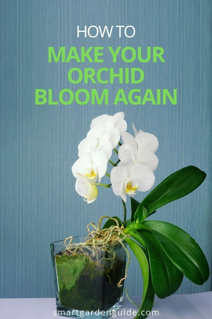 a183175d88c85a758cd5217560638232 - How Do I Get My Phalaenopsis Orchid To Rebloom