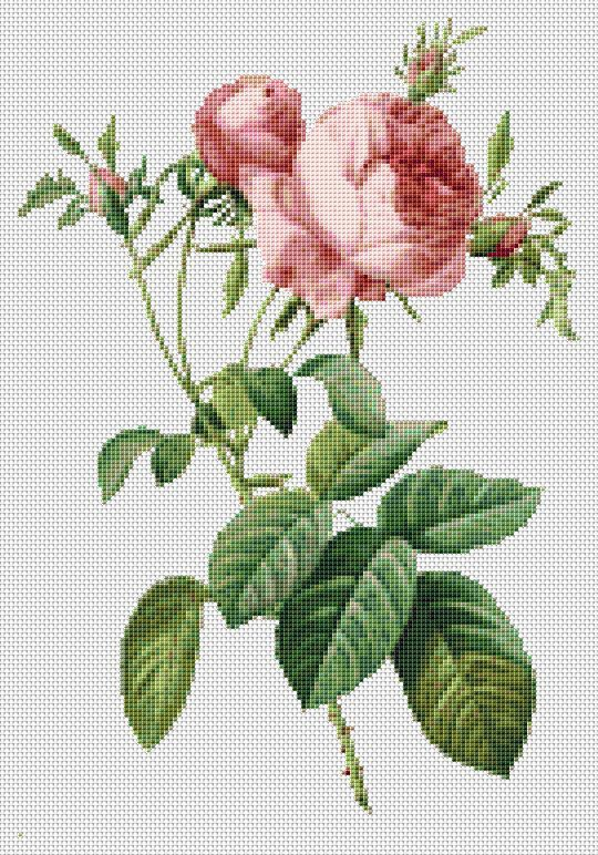Rosa Centifolia Foliacea - Counted Cross Stitch KIT