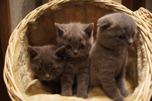 BKH kitten In blau in Nordrhein-Westfalen - Bocholt   Britisch Kurzhaar Katzenbabys kaufen   eBay Kleinanzeigen