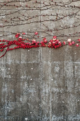 The colors of the Boston Ivy on the rough concrete wall are