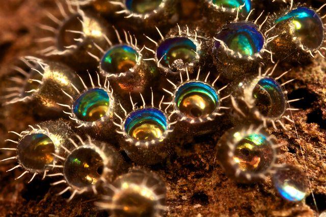 stink bug eggs by pbertner, via Flickr