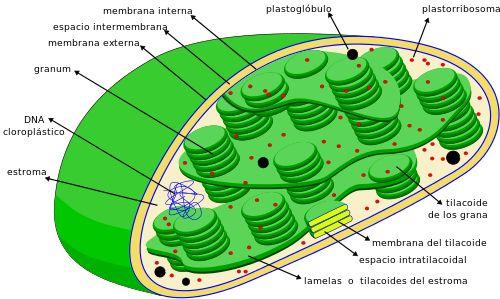 filogenia de la chlorophyta - Buscar con Google
