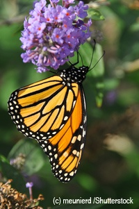 images  butterfly gardens  pinterest
