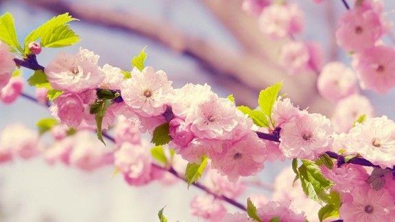 Kiraz Çiçeği #wallpaper #kiraz #cherry #flowers
