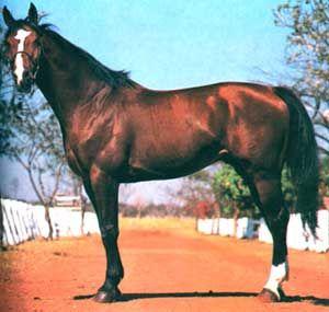 Cavalo Brasileiro de Hipismo 5