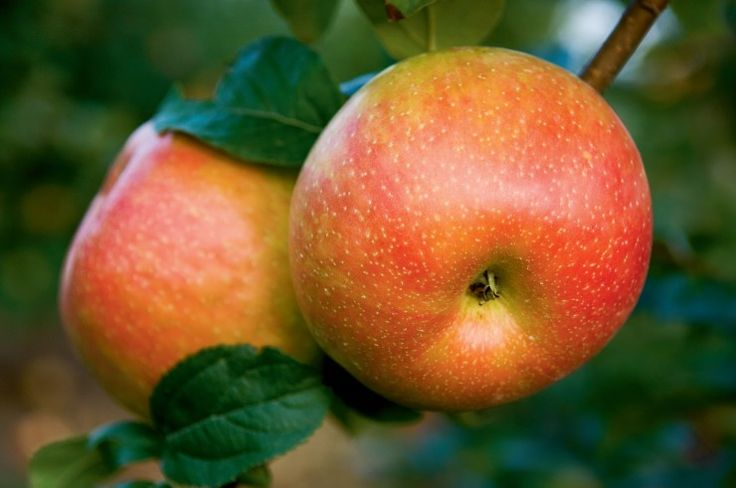 10 Fun Facts About Apples   Farm Flavor