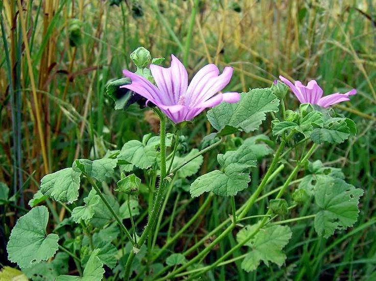 MALVA Malva sylvestris e malva neglecta Malvaceae sono le varietà più facilmente reperibili, è davvero ottima come tartacibo