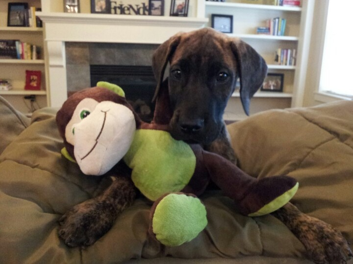 Playing with monkey toy greatdanedogs bigdogs Great
