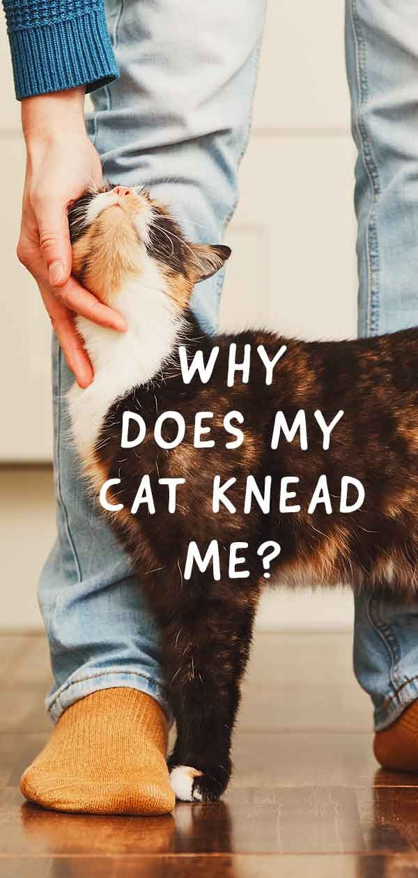 Why Does My Cat Knead Me The Meassages Behind Making Biscuits Cat Behavior Cat Pictures For Kids Funny Cat Images