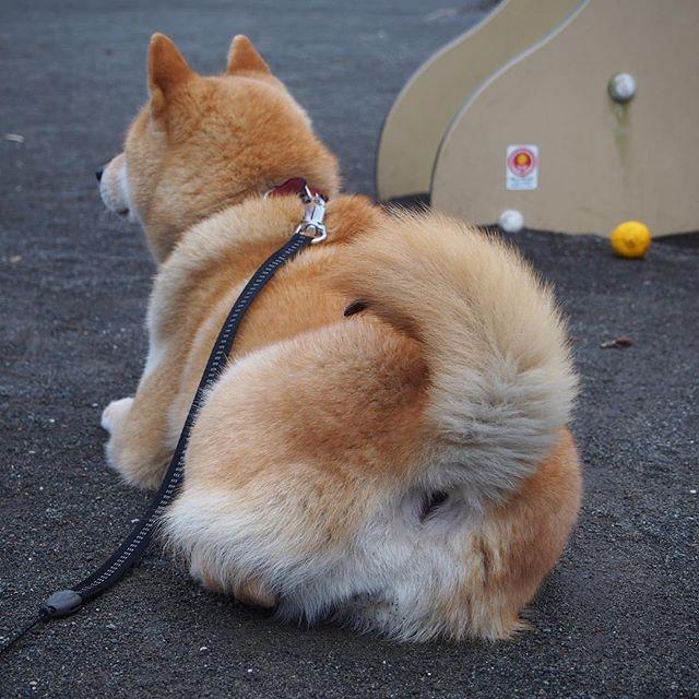 Pinを追加しました!/柴尻 #shiba #dog #komugi #shibe #doge #柴犬 #柴尻