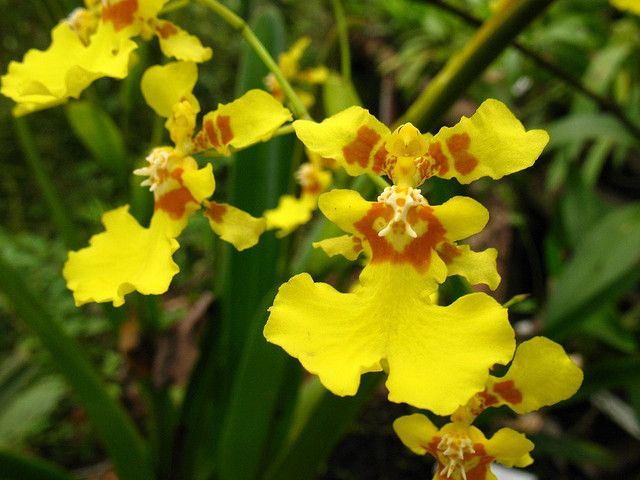 yellow butterfly looking orchid | Oncidium Orchid, Care and Growing Tips