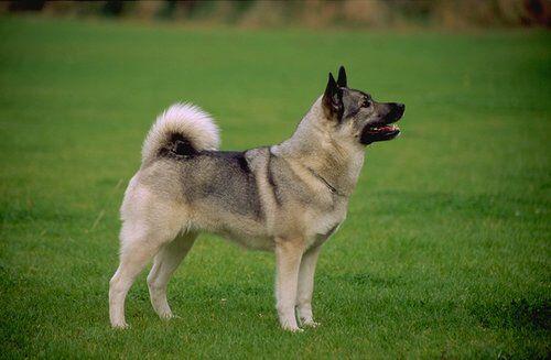 Norwegian elkhound profile