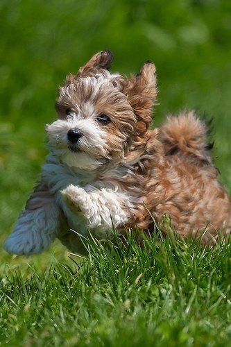 Run Forest (Havanese Puppy) run!