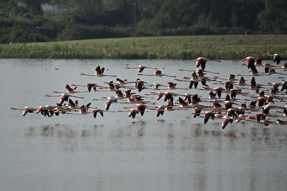 Vlucht flamingo's bij El Rocío in het natuurpark Coto de Doñana | Huelva, Andalusië (Spanje)