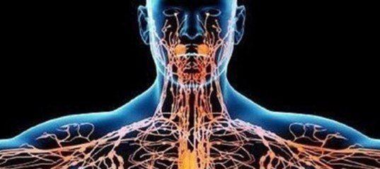 Играющая важную роль в обмене веществ и очищении клеток и тканей организма лимфатическая система является частью сосудистой системы, дополняющей сердечно-сосудистую. Но она состоит не только из лимфатических сосудов, но включает еще и целый арсенал органов иммунной системы (селезенка, аппендикс, миндалины, костный мозг, лимфоузлы и прочие