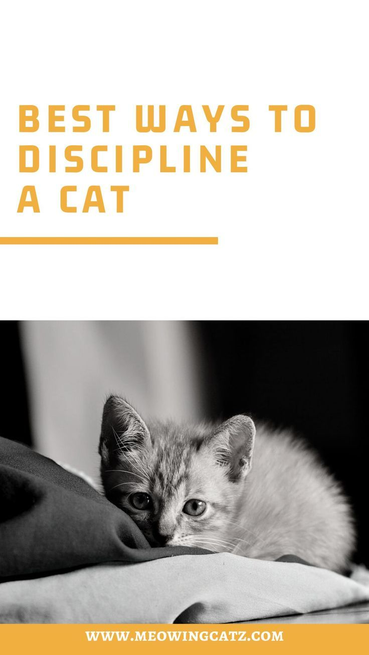 Best Ways To Discipline A Cat In 2020 Cats Cat Care Cats And Kittens