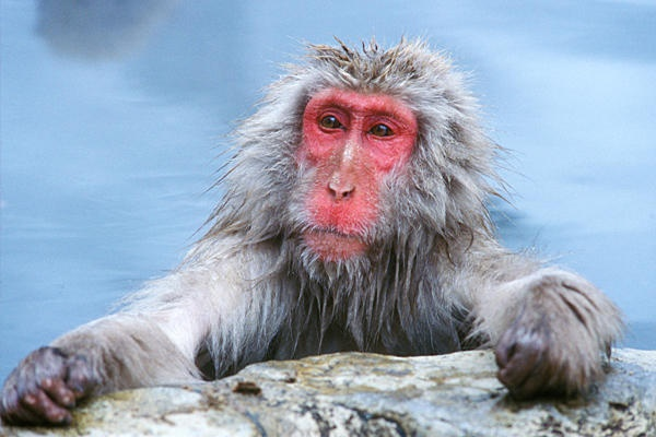 Also known as the snow monkey, the Japanese macaque is the most northern-living non-human primate. These monkeys are known for their intelligence, being the only animal other than humans and raccoons known to wash their food, a behavior that was observed being invented by one monkey in 1953 and then passed on to subsequent monkey generations. As with humans, different groups of Japanese macaques have distinct eating habits and child-rearing practices.