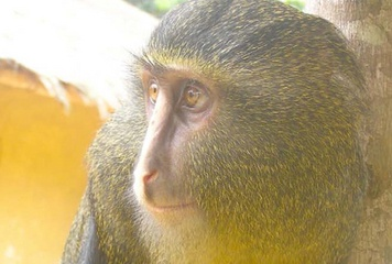 A shy, brightly colored monkey species has been found living in the lush rainforests at the heart of the Democratic Republic of Congo, a find that utterly surprised the researchers who came upon it. (9-13-2012)
