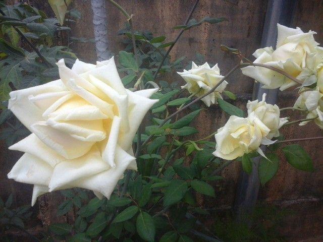 Sim, tem rosa amarela no meu jardim e sem espinhos! #rosaamarela