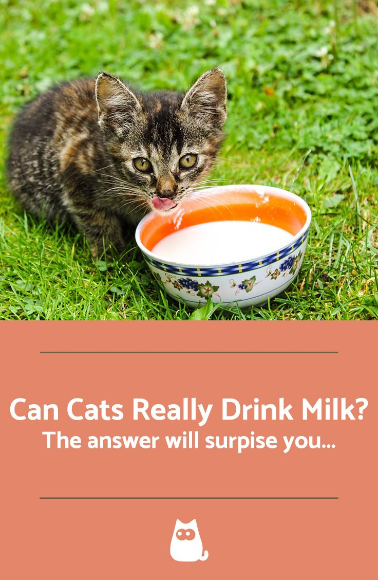 Can Cats Drink Milk Cat Myth Busted Cat Drinking Drink Milk Cats