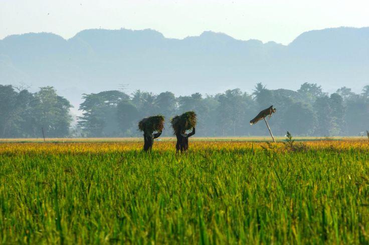 Petani panen di Kabupaten Maros, Sulawesi Selatan, Indonesia