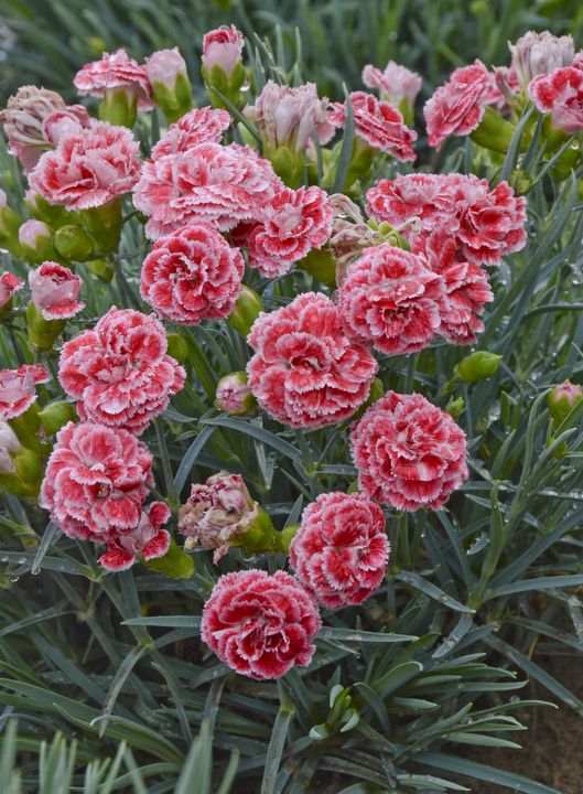 Monday's Plant of the Day! Dianthus 'Coral Reef'!