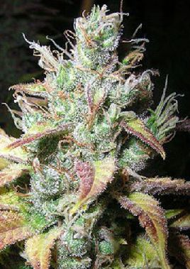 Auto Diesel cannabis seeds for bitcoin #weed #cannabis #marijuana http://www.bitcoinseedstore.com/diesel-automatic-feminised-3-pk.html?search=auto die