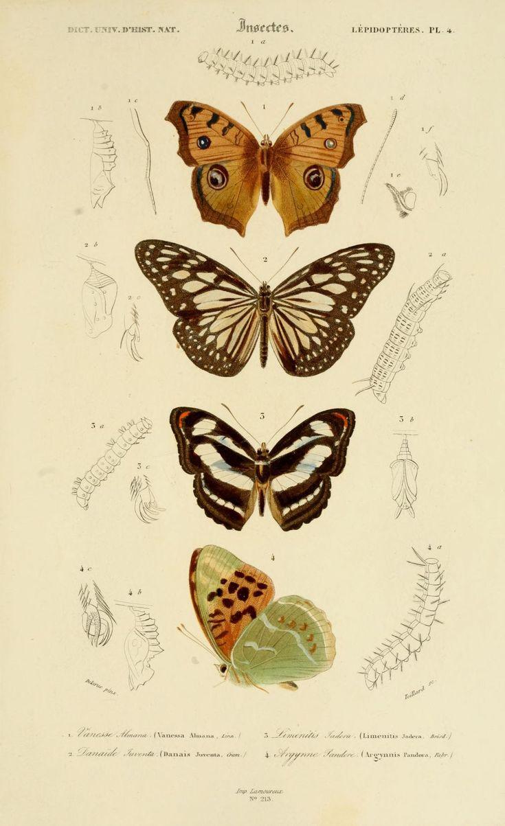 gravures couleur d'insectes - dessin insectes 0181 papillon argynne pandore - argynnis pandora - Gravures, illustrations, dessins, images