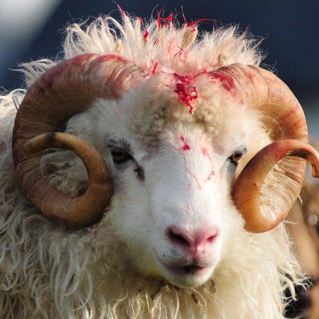 A faroese ram after having a fight. #faroeislands #thefaroeislands #sheep #ram #fight #wool #horn #får #vædder #vædderen #færøerne #føroyar #veðrur