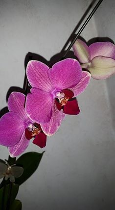 Stripper named orchid