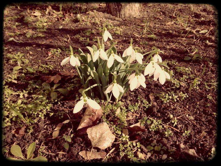 hóvirág #flower #spring #tavasz #snowdrop #natur