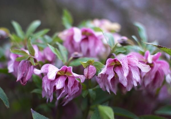 Helleborus orientalis bloeit weer vroeg dit jaar.