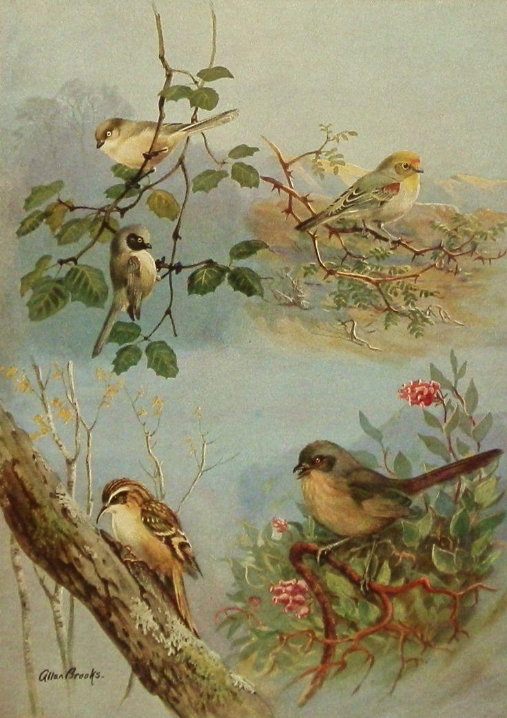 Love it.  1930s Chickadee Cousins Vintage Bird Print, Antique Bird Illustration Art (Allan Brooks Book Plate 141-2). $5.00, via Etsy.