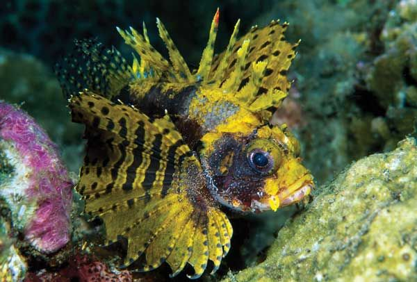 Fuzzy Dwarf Lionfish Dendrochirus Brachypterus Is A Species Not Affected By The Florida Ban This Species Remains Small And Is Mor Lion Fish Florida Fish Pet