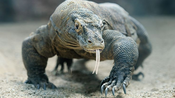 Komodo dragons are the biggest and heaviest lizards on Earth. Full-grown adults can reach 10 feet (3 meters) long and weigh more than 300 pounds (140 kilograms)! Most weigh about 150 pounds (70 kilograms).
