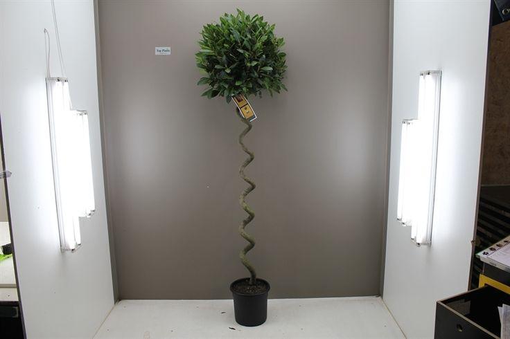 Rare Spiral Stem Bay Tree - Best4Garden Outdoor Trees
