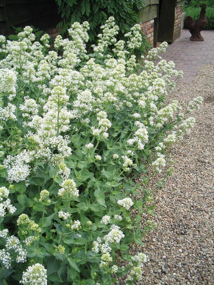 Centranthus ruber 'Albus' - (Witte) spoorbloem