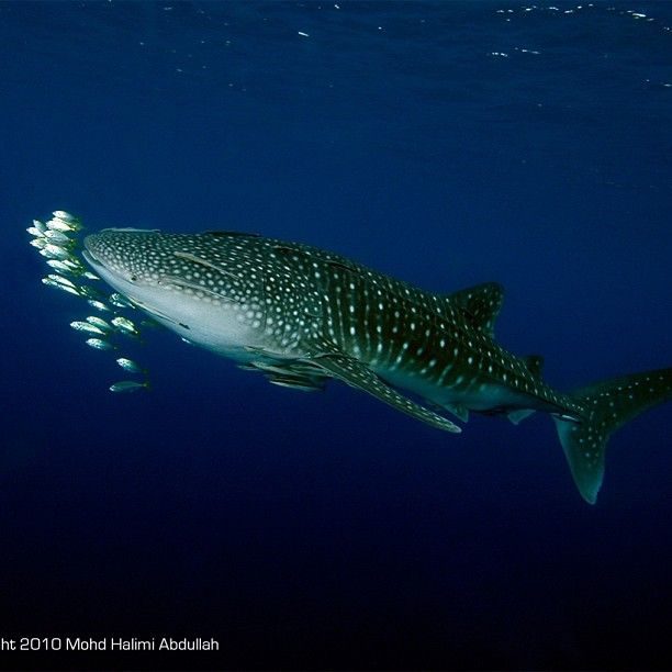 Great whale shark , want to see one of these also
