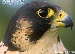 Halcón Peregrino. Falco peregrinus, La distribución geográfica de sus áreas de cría abarca desde la tundra ártica hasta el sur de América del Sur.