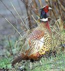 Pheasant Food Plot Seed at Seedland.com. Read about food plots for wildlife at wildlifeseed.com.