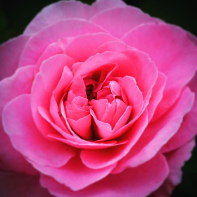 Ooh! I've just uploaded this image from my camera, taken tonight in the garden. It's a David Austin and it smells as divine as it looks! ❤️ #rose#garden#pink#photographer#huddersfield #yorkshire#davidaustin #petals#flowersofinstagram #nikon#roses#pinkroses#letsmagpie