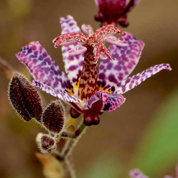 115 best Tridactyle / Tricyrtis images on Pinterest | Plants ...