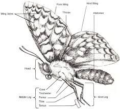 Image result for butterfly anatomy