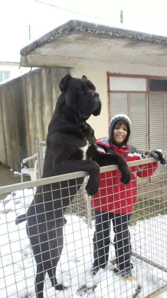 #Cane #Corso black dog white spot on chest, biggest largest tallest dog, standing on hind legs, next to woman,